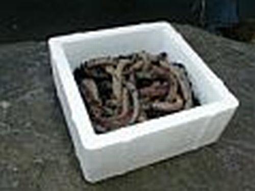 Angeln Reptilien Kanadische Tauwürmer