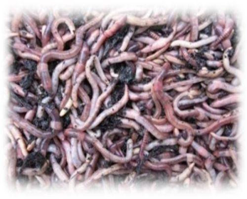 Würmer 50 Stück Große Dendrobenas Frisch /& Lebend inkl Behälter /& Wurmerde